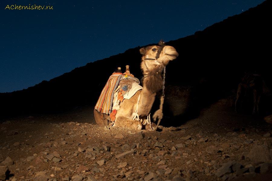 верблюды на горе Моисея