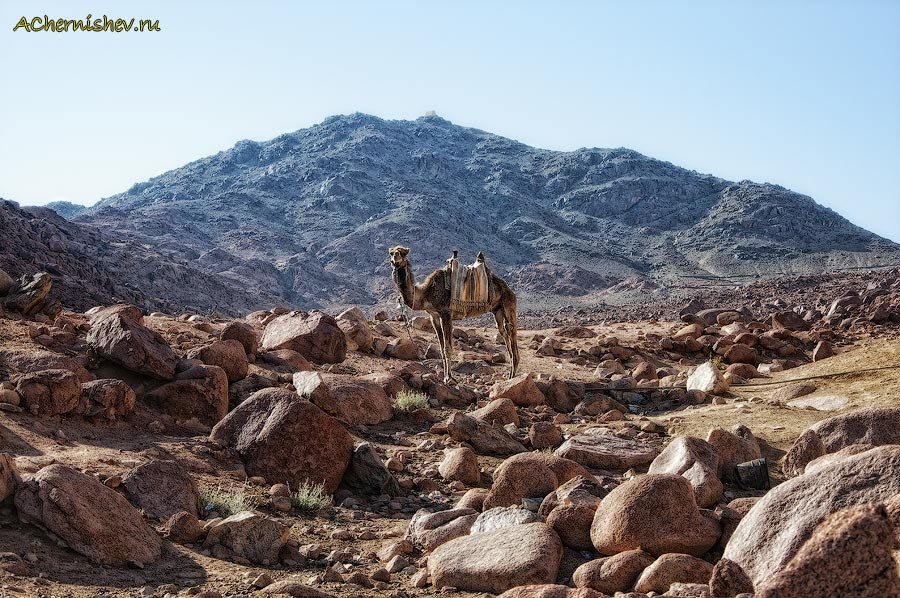 верблюд в горах Египта